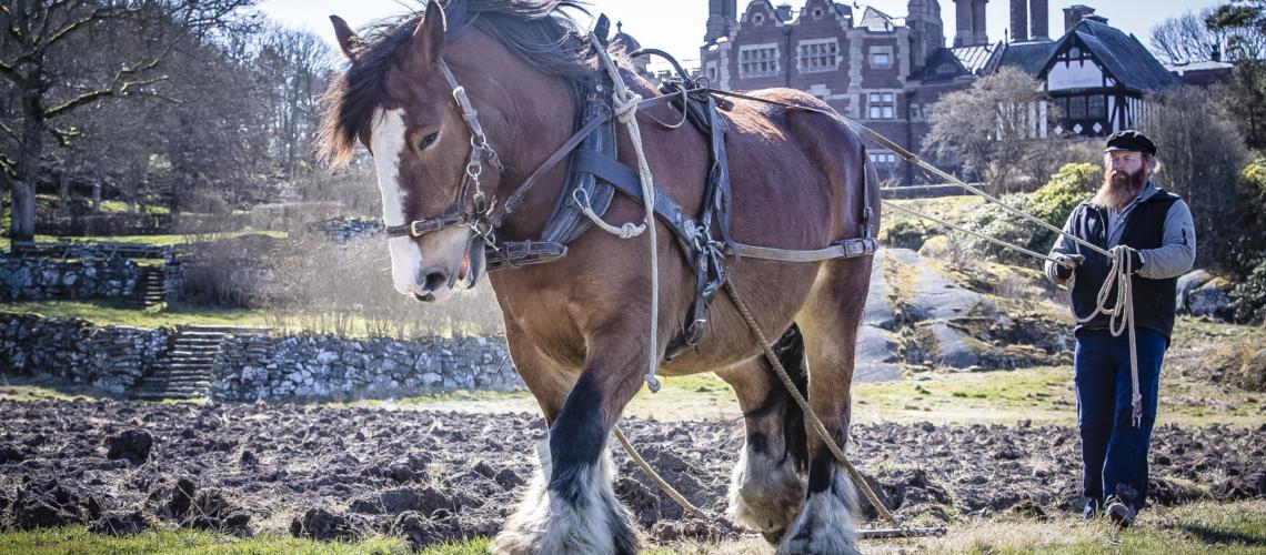 Ardennern Molly hjälper till i arbetet med att återställa Tjolöholms forna köksträdgård. Foto: Kajsa Sjölander